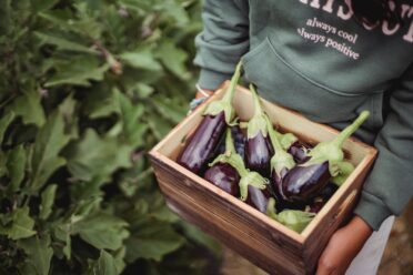 Individual holds box of eggplants in farm setting