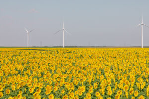 three large wind turbines in a field of sunflowers